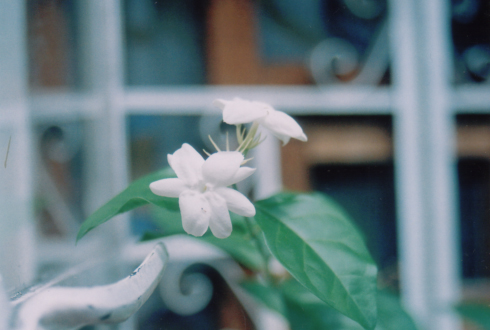 sampa blooms